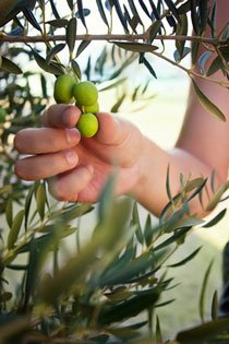 Girl Picking Olives