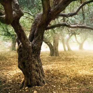 Olive Tree in Olive Orchard