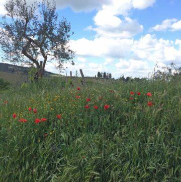Poppies in field near Montefioralle